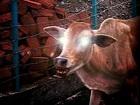 """【悲報】イスラエルで2000年ぶりに""""赤い雌牛""""誕生、「最後の審判」開始で人類滅亡へ! 宗教戦争やオバマの政界復帰にも関連か!?"""