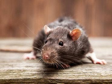 """築地市場移転で「都政がネズミの大移動をアシスト」している! 専門家が指摘…銀座がスーパーラットの""""一大居城""""に"""