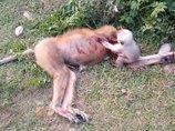 車に轢かれた母ザルの死体にしがみつき、蘇らせようとする子ザル! 母の血を浴び、悲痛な声を上げ…心が張り裂ける映像に全世界が涙!