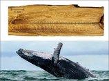 クジラの耳くそには「146年分のストレス」が蓄積されていることが判明! 世界大戦や捕鯨… 苦しみの痕跡が発覚!