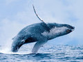"【IWC脱退】なぜ日本は今、捕鯨を再開すべきなのか? 欧米が""理不尽に""捕鯨反対するトンでもない裏の理由と陰謀解説!"