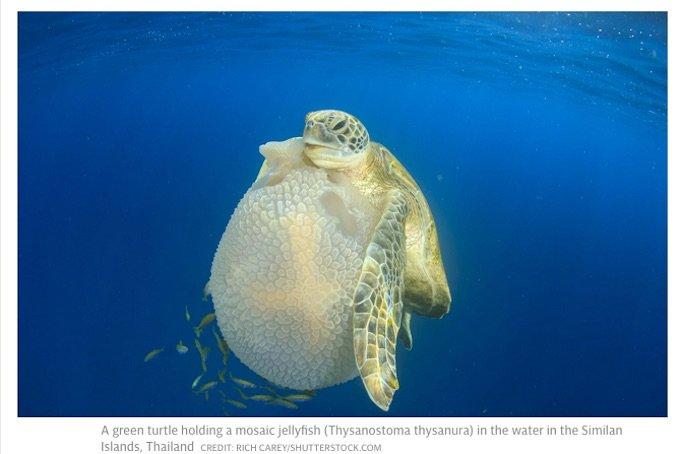 ウミガメが超絶進化していたことが研究で発覚! いつの間にか前ヒレで「空手チョップ」するほどヒト化していた!の画像1