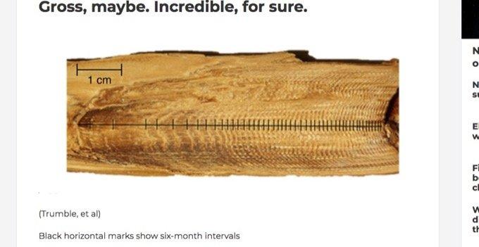 クジラの耳くそには「146年分のストレス」が蓄積されていることが判明! 世界大戦や捕鯨… 苦しみの痕跡が発覚!の画像2