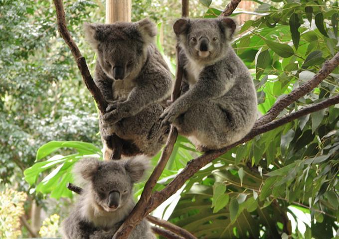 1509_koala.jpg