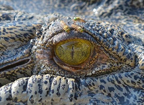 1604_crocodile_01.jpg