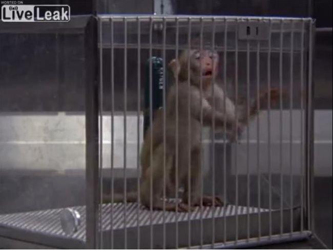 【閲覧注意】毒ガスでじわじわ死にゆく子ザルが哀れすぎる! 苦悶の表情で体を痙攣させ… 動物実験の残虐さを思い知る衝撃映像の画像1