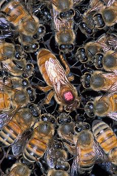スズメバチとどっちが強い? 凶暴すぎる殺人蜂キラービーが米国で拡大の画像1