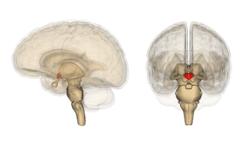 250px-Hypothalamus_image.png