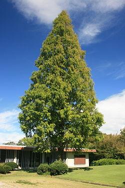250px-Metasequoia_glyptostroboides_in_Forest_park_of_Aichi_Prefecture.jpg