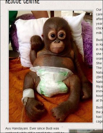 虐待されていたオランウータンの赤ちゃん!! 必死に生きる姿に世界が涙の画像2