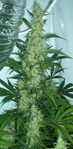 Cannabis_flowering.jpg