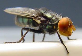 CochliomyiaHominivorax.jpg