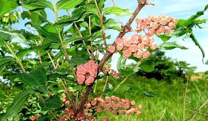 Coriaria_japonica.JPG