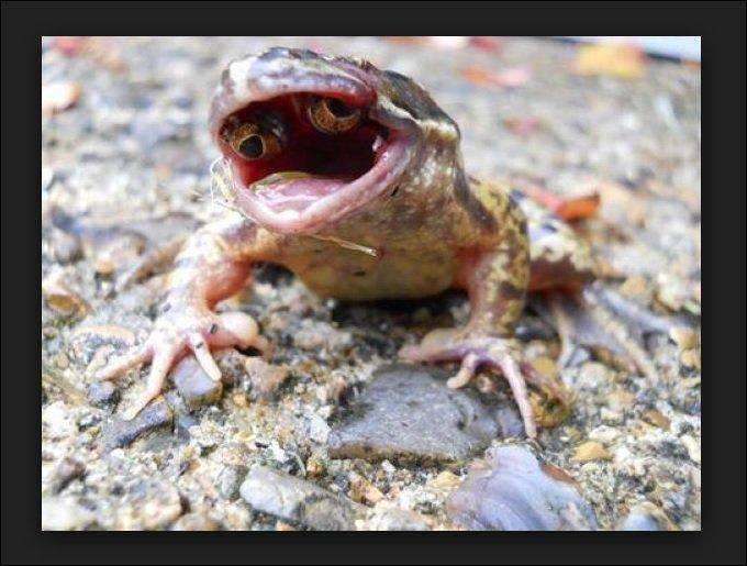 口の中に目玉を持つ奇形カエルが出現! 理学博士がトカナの取材に首を捻るの画像1