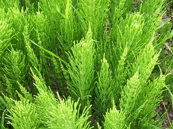 FieldHorsetail.jpg