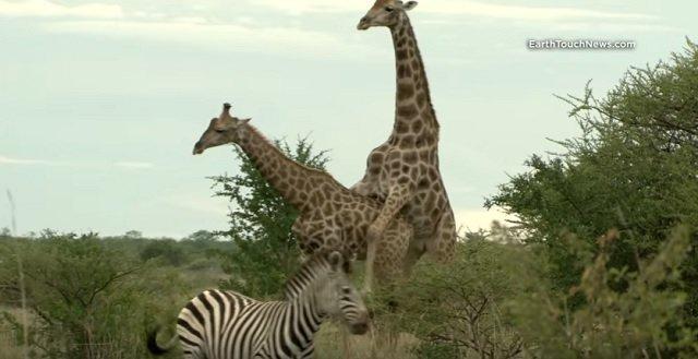 GayGiraffe.jpg
