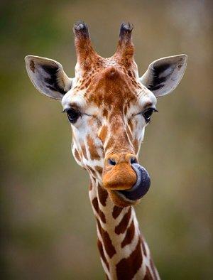 GayGiraffe_2.jpg
