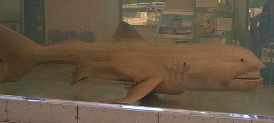 【緊急】6月14日までに大地震!? 静岡に出現した深海ザメ「メガマウス」は、大地震の前兆だった!!【前例多数】の画像1