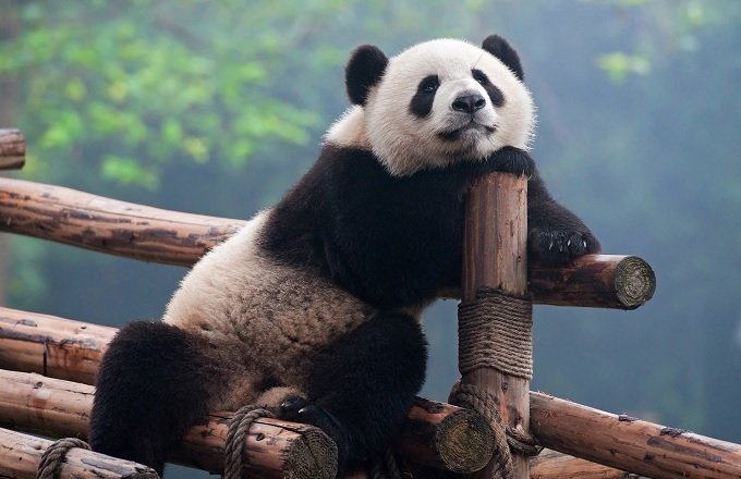 PandaWhiteBlack.jpg