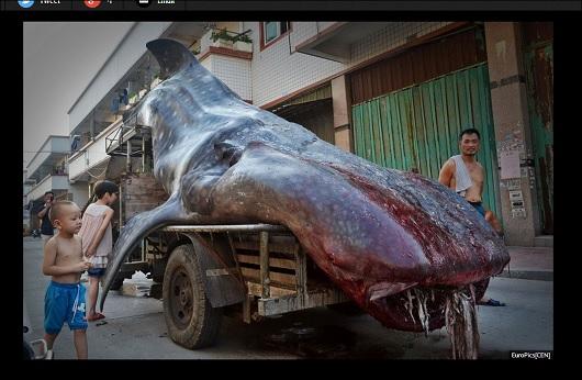 WhaleShark_3.jpg