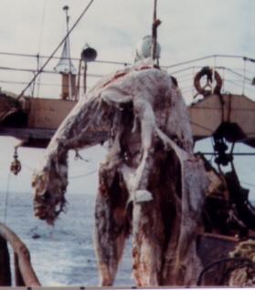 世界が驚愕! 日本で起きた「ニューネッシー事件」の真相と未だ暴かれぬ太平洋の謎の怪獣UMA!の画像1