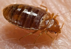 bedbugs1.JPG