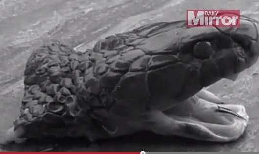 切り落としたコブラの生首に噛み付かれて男性死亡!=中国の画像1