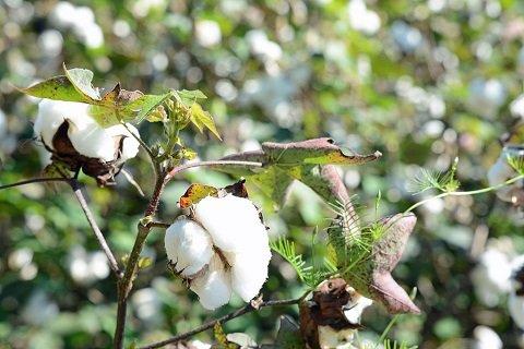 cottondnatest1.JPG