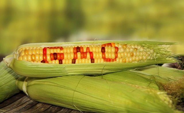 「遺伝子身組換え食品は人体実験」 有名生物学者デヴィッド・スズキが暴露! の画像1