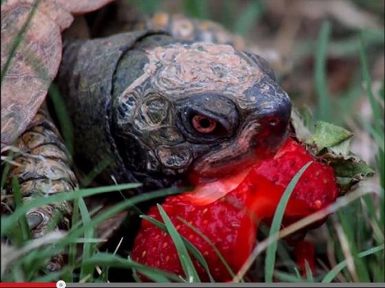 eatingberries3.JPG
