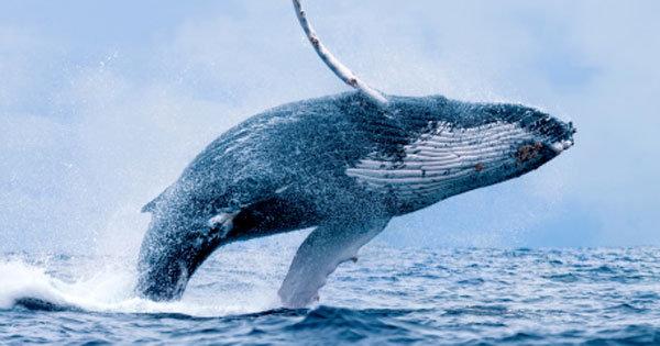 なぜ日本は今、捕鯨を再開すべきなのか? 欧米が理不尽に捕鯨反対するトンでもない裏の理由と陰謀解説!の画像1