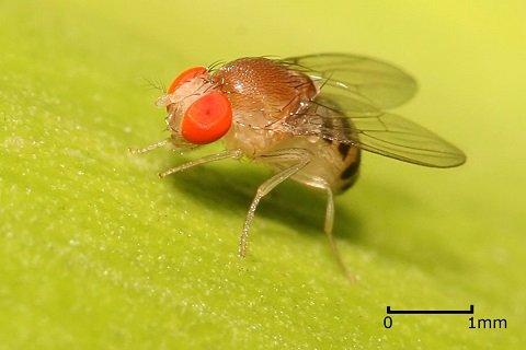 fruitfly1.JPG