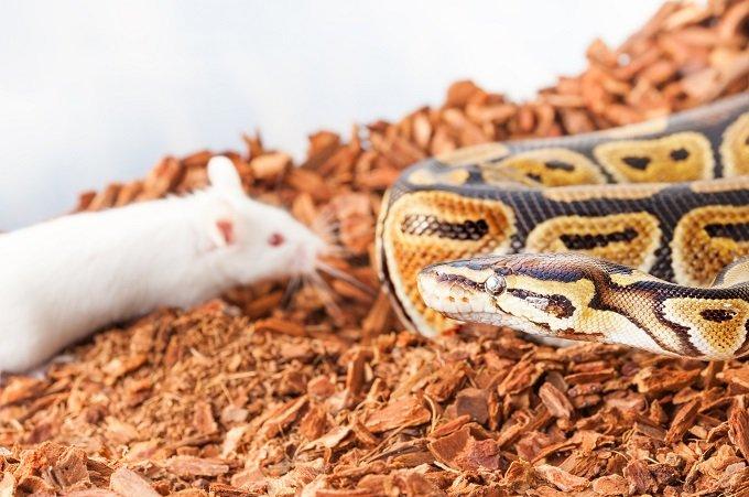 ヘビの遺伝子をマウスに注入したら手足のないマウス誕生!! 理学博士「もちろん人にも応用可能」の画像1