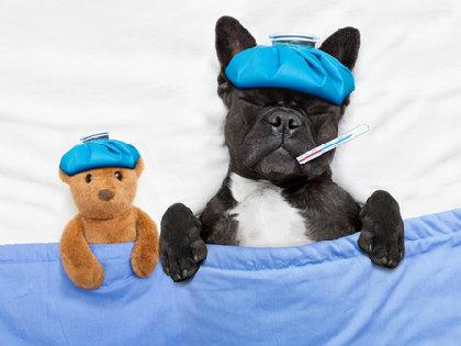 イヌにもインフルエンザ流行……愛犬のインフル感染が飼い主にも?の画像1