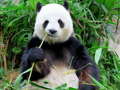 人間とパンダの食の進化は真逆? 本来は「食べていなかった」ものが主食になったの画像1