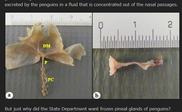 【ガチ】米政府が「氷漬けのペンギンの松果体」を爆買い、ウィキリークスが暴露! 目的は一切不明、理学博士がコメント「超能力研究の可能性」の画像3