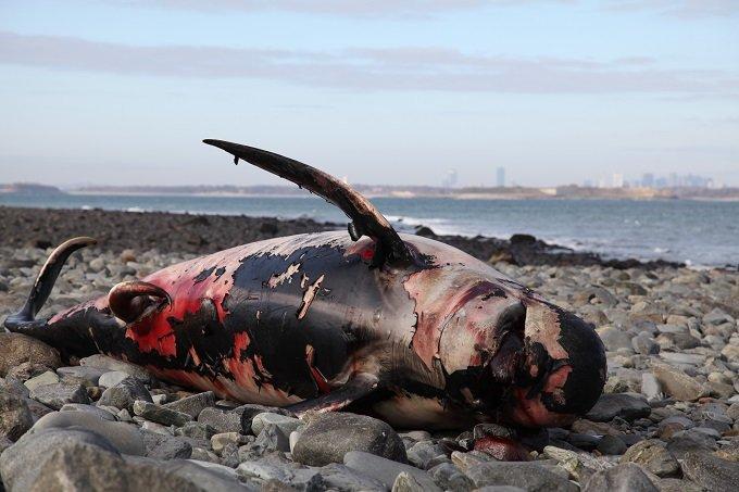 「クジラの座礁は地震と関係なし」東海大の発表は間違っている! これでいいのか、徹底反論!の画像4
