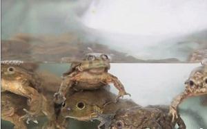 titicacafrog.jpg