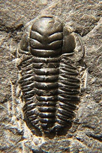 trilobites_4.jpg