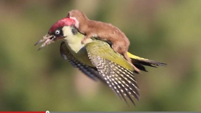 鳥の背中に乗って空を飛ぶイタチが可愛すぎる!!の画像1