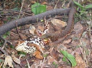 【小5男児重体】近づいただけで失明の危険、噛まれたら全身出血も! 毒蛇「ヤマカガシ」の凶悪性を徹底解説!の画像3