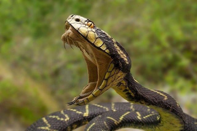【小5男児重体】近づいただけで失明の危険、噛まれたら全身出血も! 毒蛇「ヤマカガシ」の凶悪性を徹底解説!の画像2