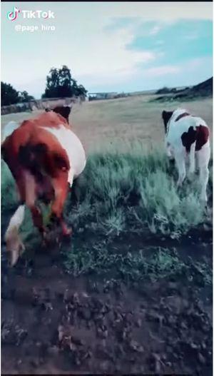 【閲覧注意】メス牛のワレメをこすって刺激すると何が起こる!? 意外すぎる結果に全世界驚愕、牛の股間ミステリー!の画像2